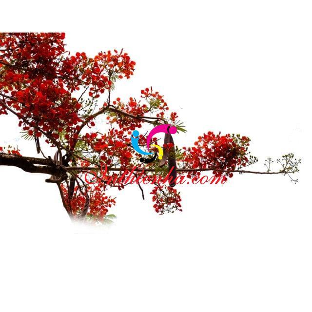 psd hoa phuong